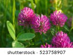 Blooming Red Clover  Trifolium...