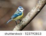 Blue Tit  Parus Caeruleus ....