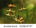 Small photo of Artisitic composition, Lilium canadense (Lis Canadense)
