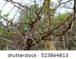 Close Up Of Thorns On A Tree I...