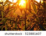silhouette of cannabis plant at ... | Shutterstock . vector #523881607