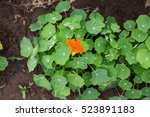 Nasturtium Plants In The Garde...