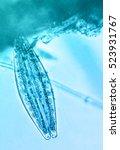 diatom  | Shutterstock . vector #523931767