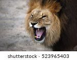 portrait of a snarling african... | Shutterstock . vector #523965403
