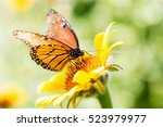 queen butterfly feeding on a... | Shutterstock . vector #523979977