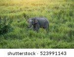 Asian Elephant At Khao Yai...