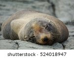 Fur Seal Sleeping At Ohau Poin...
