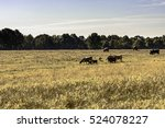 commercial beef cows and calves ... | Shutterstock . vector #524078227