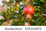 pomegranate fruit on tree...   Shutterstock . vector #524161873