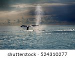 two hump backed whales  pacific.... | Shutterstock . vector #524310277