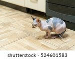 a mottled peterbald on the... | Shutterstock . vector #524601583
