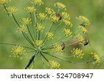 Bees And The Fennel