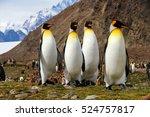 king penguins in fortuna bay on ... | Shutterstock . vector #524757817