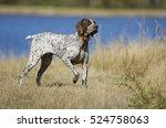 german shorthaired pointer dog... | Shutterstock . vector #524758063