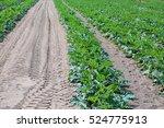 Immense Field Of Green Zucchin...