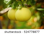 ripe pomelo fruits hang on the... | Shutterstock . vector #524778877