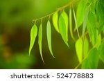 eucalyptus green leaves... | Shutterstock . vector #524778883