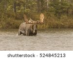 Small photo of Rain Date - A bull moose wades through the water in search of a cow moose during the fall mating season in the rain. Baxter State Park, Millinocket, Maine.
