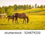 mare with her foal in pastures...   Shutterstock . vector #524879233