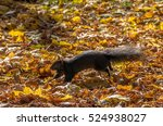 Black Squirrel Running With A...