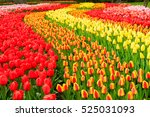 Rows Of Red  Orange And Yellow...