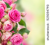Stock photo border of fresh pink roses close up isolated on white background 525054793