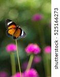 Butterfly  Globe Amaranth