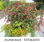 Red Flowering Fuchsia Triphyll...