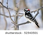 A Male Downy Woodpecker Perche...