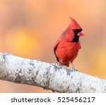 Small photo of A male North American Cardinal ( Cardinalidae) is perched on a birch branch with golden leaves in background