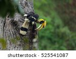 Great Hornbill Male Buceros...