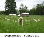 White Guard Dog With Sheep In ...