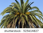 palm tree with fruits | Shutterstock . vector #525614827