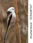 Small photo of Bird - Long-tailed Tit (Aegithalos caudatus)