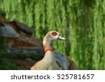 Close Up Of A Nile Goose