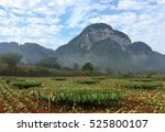 harvested tobacco fields in... | Shutterstock . vector #525800107