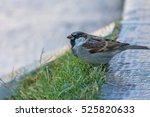 the house sparrow  passer... | Shutterstock . vector #525820633