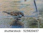 the house sparrow  passer... | Shutterstock . vector #525820657