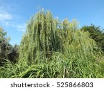 Willow  Grass And Blue Sky....