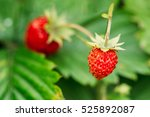 Red Fragaria Or Wild...