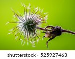geum rivale plant on green... | Shutterstock . vector #525927463