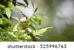 Small photo of Red browed Finch (Neochmia temporalis) hung on a branch, Nature blur background, Australia