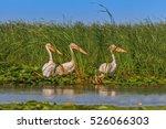 white pelicans in the danube... | Shutterstock . vector #526066303