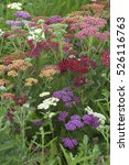 Small photo of Mixed Achillea flowers in field