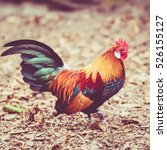 beautiful cock. colorful... | Shutterstock . vector #526155127