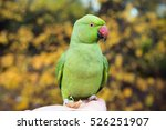 Beautiful Alexandrine Parakeet...