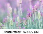 lavender flowers in the violet... | Shutterstock . vector #526272133