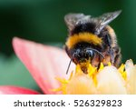 A Bumblebee On A Summer Flower