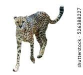Walks Adult Cheetah  Acinonyx...
