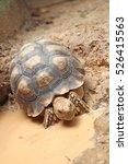 Small photo of African Spurred Tortoise enjoying the mud, Tortoise takes a mud bath ,African Spurred Tortoise in the garden